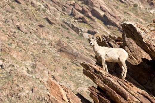 Peninsular Bighorn Sheep (Ovis canadensis cremnobates) Standing on Edge of Rock Cropping, Anza Borrego Desert State Park, California : Stock Photo