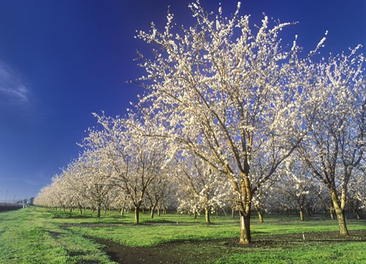 An Almond Orchard in Full Bloom near Dayton, Butte County, California (SC) : Stock Photo