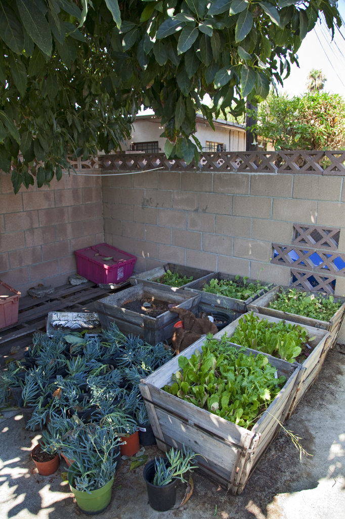 Stock Photo: 4055-6167 Greens in planters make use of shady tree for better growth. The We Can Foundation Community Learning Center in South Central Los Angeles utilized permaculture to design their learning garden for the students that visit the Center.