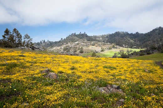 Carpet of Goldfield Wildflowers, Figueroa Mountain Recreation Area, California : Stock Photo