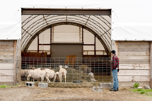 (MR) Shorn sheep in a barn at Stone Barns Center For food and Agriculture, a working four-season farm and educational center 30 miles north of New York City with a mission to create a (MR)consciousness about the effect of everyday food choices. : Stock Photo