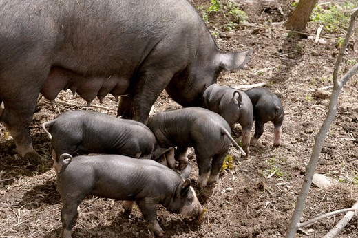 Mother pig and piglets at Stone Barns Center For food and Agriculture, a working four-season farm and educational center 30 miles north of New York City with a mission to create a consciousness about the effect of everyday food choices. : Stock Photo