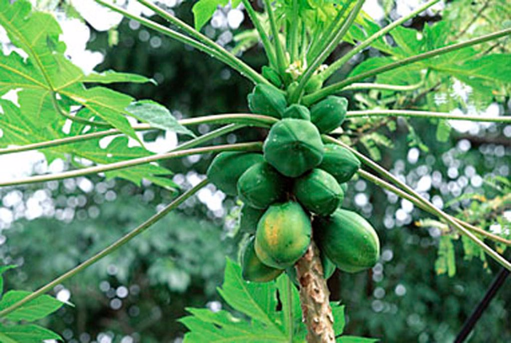 Malaysia, Penang, Papaya tree with fruit : Stock Photo