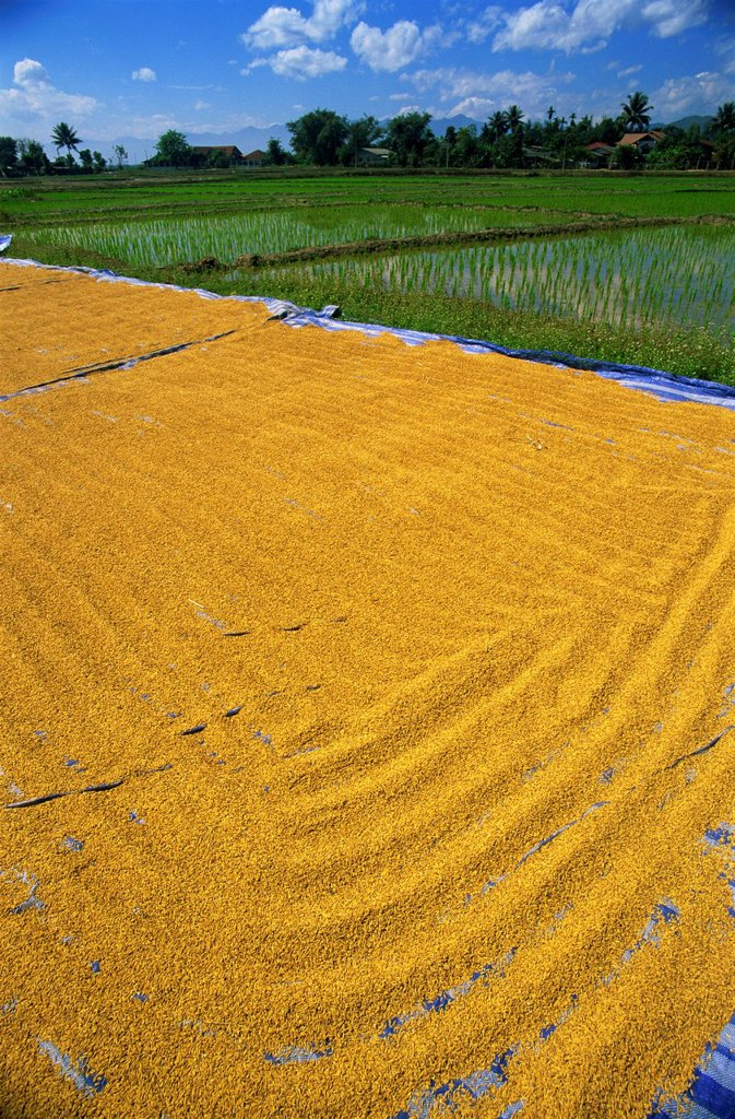 Stock Photo: 4065-20048 Thailand,Chiang Mai,Rice Drying and Rice Paddy Fields