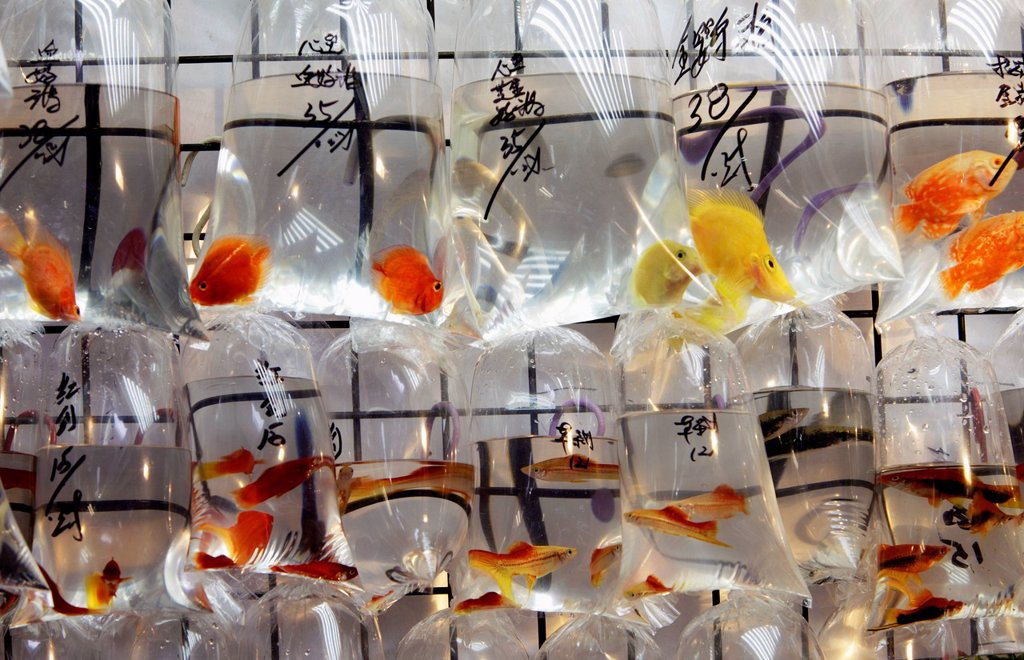 Stock Photo: 4065-20559 Different colored fish in plastic bags