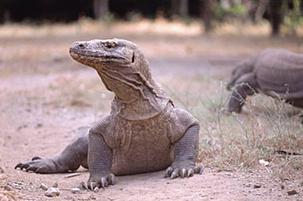 Stock Photo: 4065-3809 Indonesia, Komodo Island, Close-up of  Komodo dragon