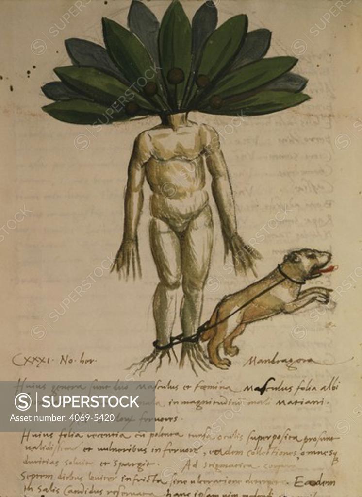 Stock Photo: 4069-5420 Mandragora (mandrake), folio 70V of 15th century manuscript De herbarum medicaminibus (of medicinal herbs) by Lucius Apuleius, 2nd century Roman writer, satirist and rhetorician
