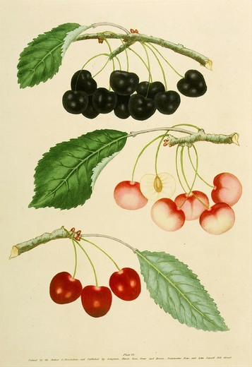 Types of Cherries, George II Graffien or Biggaron and Harrisons Heart, from Pomona Britannica, 1817 Quarto edition, by George Brookshaw, 1751-1823. Account of 256 types of fruit then cultivated in Britain : Stock Photo
