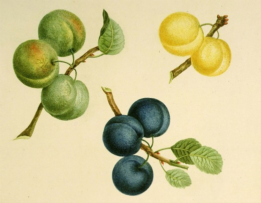 Plums White Gage Blue and Green, from Pomona Britannica, 1817 Quarto edition, by George Brookshaw, 1751-1823. Account of 256 types of fruit then cultivated in Britain : Stock Photo