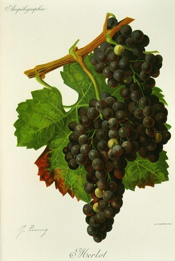 Stock Photo: 4069-179 Merlot black grape variety from Ampelographie Traite general de Viticulture 1903 with painting by A Kreyder and E.J. Troncy