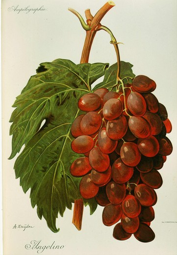 Angelino white grape variety from Ampelographie Traite general de Viticulture 1903 with painting by A Kreyder and E.J. Troncy : Stock Photo