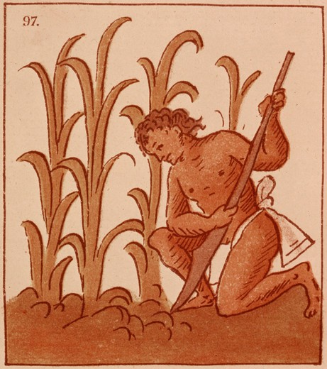 Stock Photo: 4069-6984 Cultivation of maize, from Florentine Codex of Aztec life, c.1570