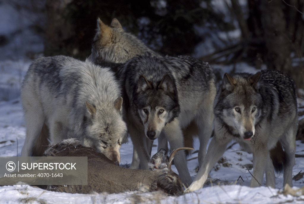Stock Photo: 4070-1643 Grey wolf pack feeding on deer {Canis lupus} Canada. Captive.