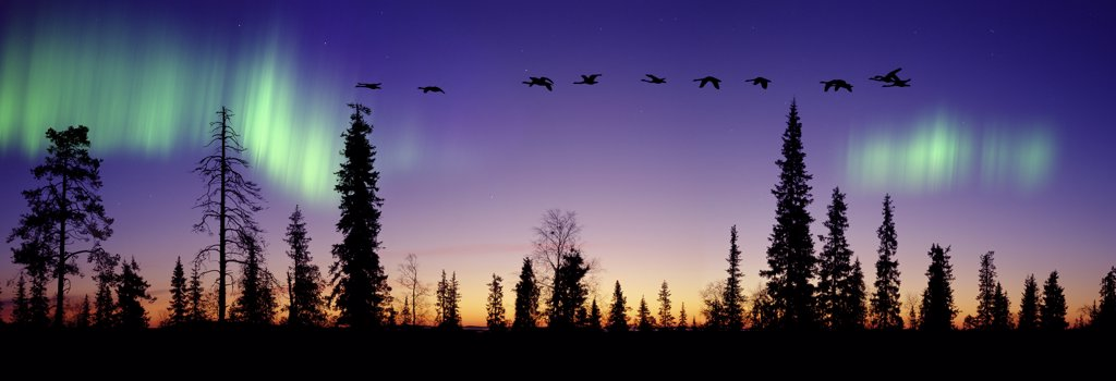 Stock Photo: 4070-10542 Whooper Swans (Cygnus cygnus) flying against Aurora borealis at sunrise, Finland. Digital composite