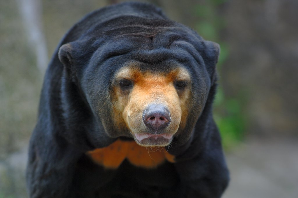 Stock Photo: 4070-10583 Malayan Sun bear {Helarctos malayanus} captive