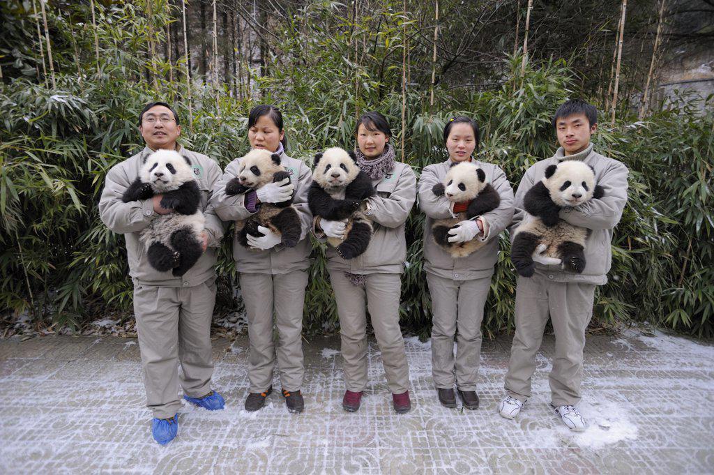 Keeper's team holding giant panda babies (Ailuropoda melanoleuca) aged 5 months at Wolong Nature Reserve, China, 2008, Captive : Stock Photo
