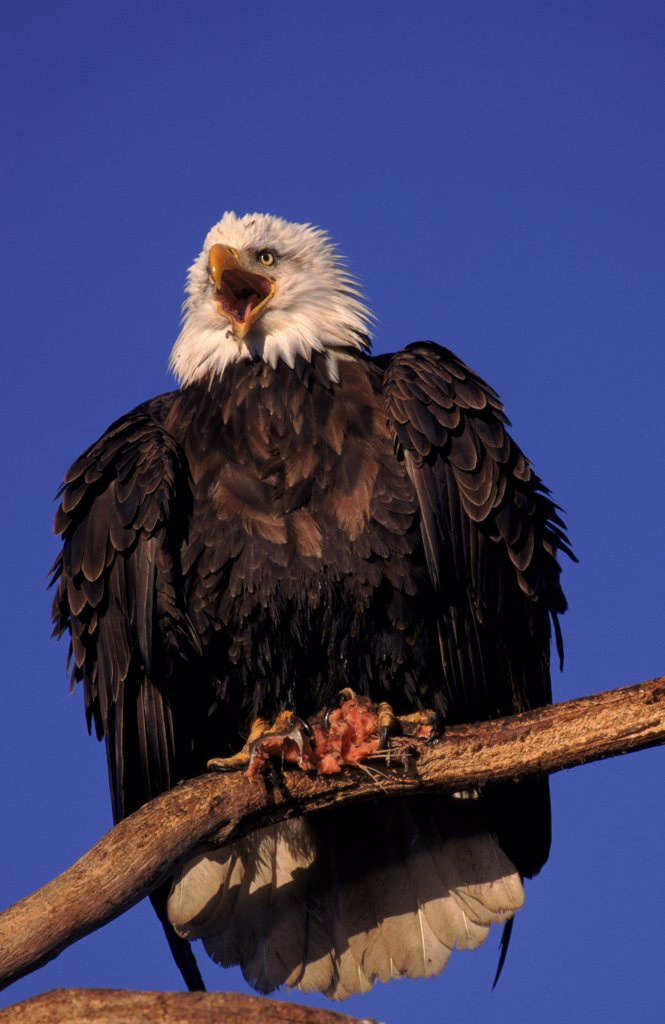 Stock Photo: 4070-1273 American bald eagle on perch with prey, Alaska