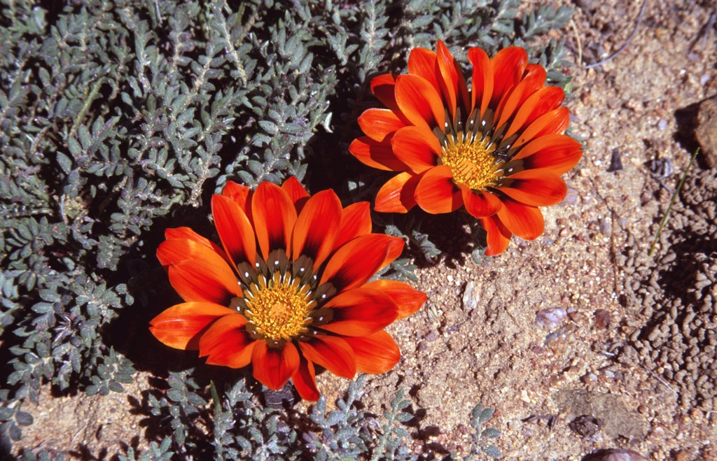 Stock Photo: 4070-13333 Common gazinia in flower {Gazania krebsiana} Namaqualand, South Africa
