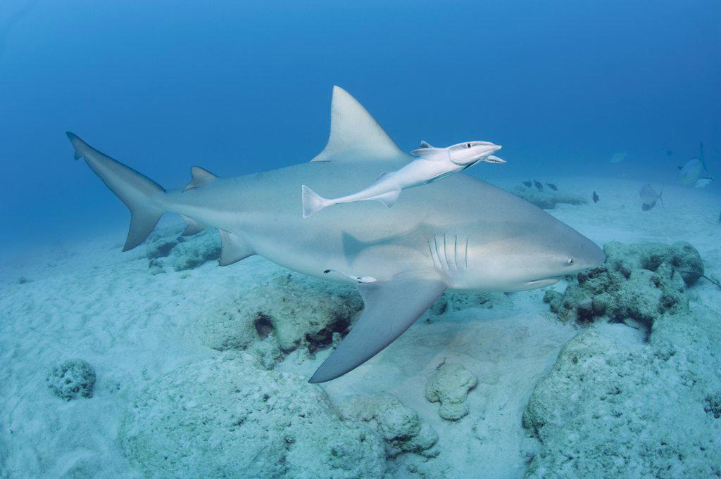 Stock Photo: 4070-13680 Bull shark (Carcharhinus leucas) female in seasonal breeding aggregation with Sharksucker (Echeneis naucrates) Playa del Carmen, Cancun, Quintana Roo, Yucatan Peninsula, Mexico (Caribbean Sea)