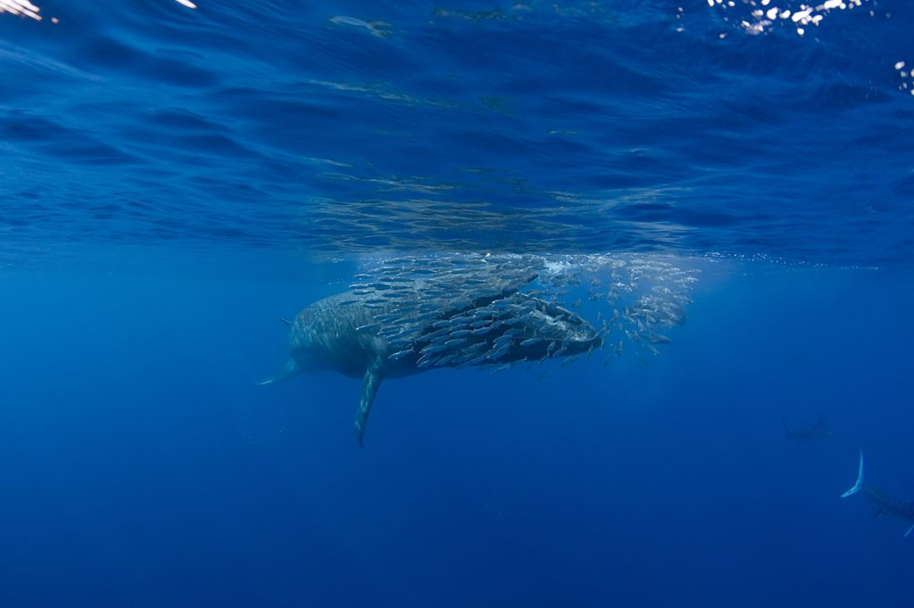 Stock Photo: 4070-13692 Bryde's whale (Balaenoptera brydei / edeni) with mouth open, approaching baitball of Sardines (Sardinops sagax) to feed, off Baja California, Mexico, Eastern Pacific Ocean. 2 in sequence of 5