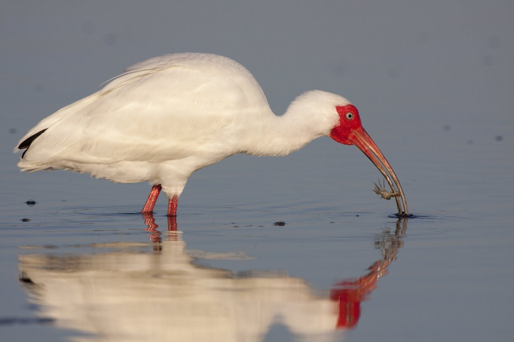 White Ibis (Eudocimus albus) foraging in shallow water, and feeding on a small crab. Tampa Bay, Florida, USA : Stock Photo