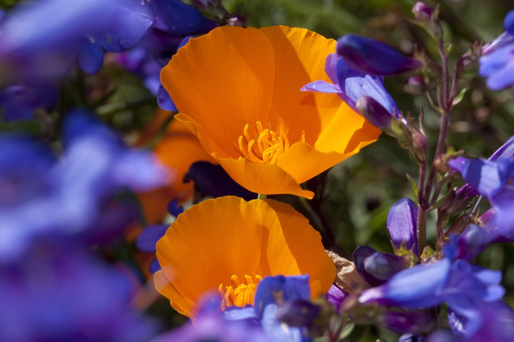 Stock Photo: 4070-13787 Penstemon (Penstemon species) flowering with California Poppies (Eschscholtzia californica); Southern California, USA