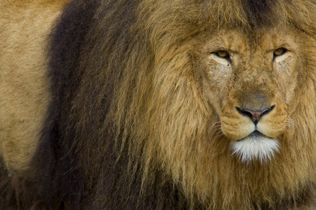 Stock Photo: 4070-13811 African Lion (Panthera leo) head portrait of male, captive.