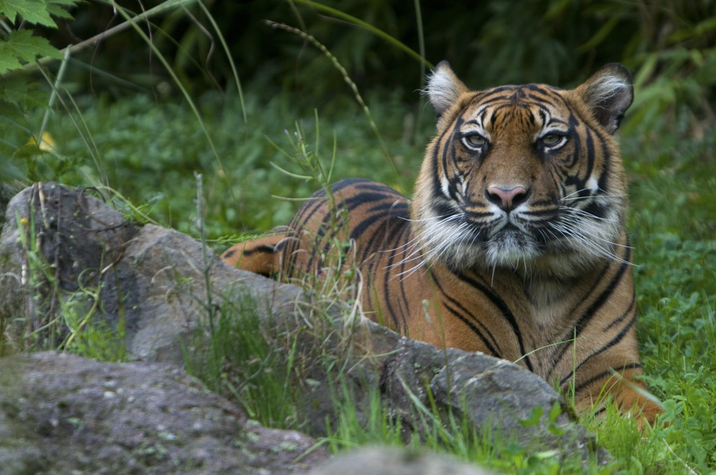 Stock Photo: 4070-13820 Sumatran tiger (Panthera tigris sumatrae) lying down in green vegetation, captive.