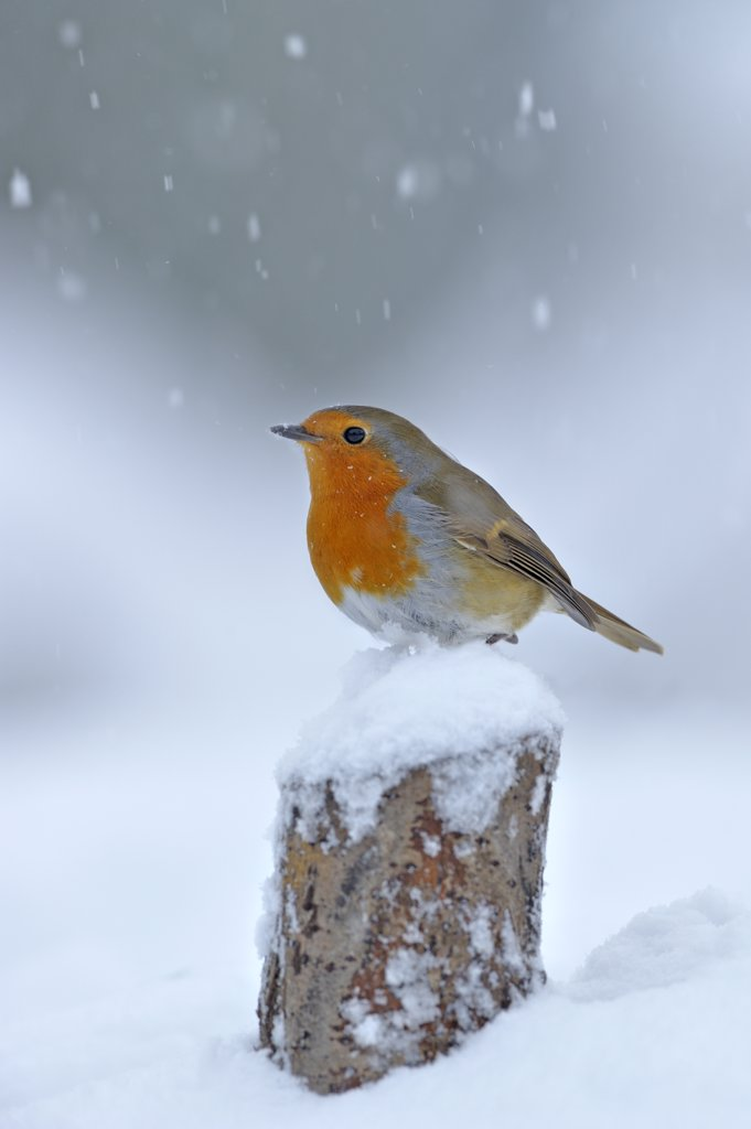 Stock Photo: 4070-13856 European Robin (Erithacus rubecula) perched on tree stump in garden with snow falling, Wales, UK. December