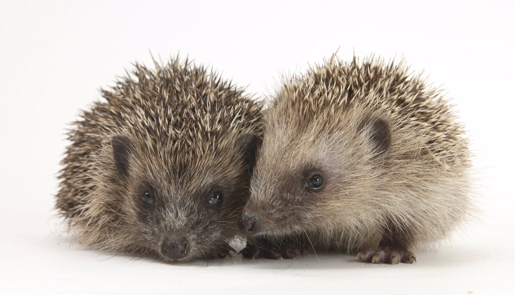 Stock Photo: 4070-13862 Two young Hedgehogs (Erinaceus europaeus)  sitting together