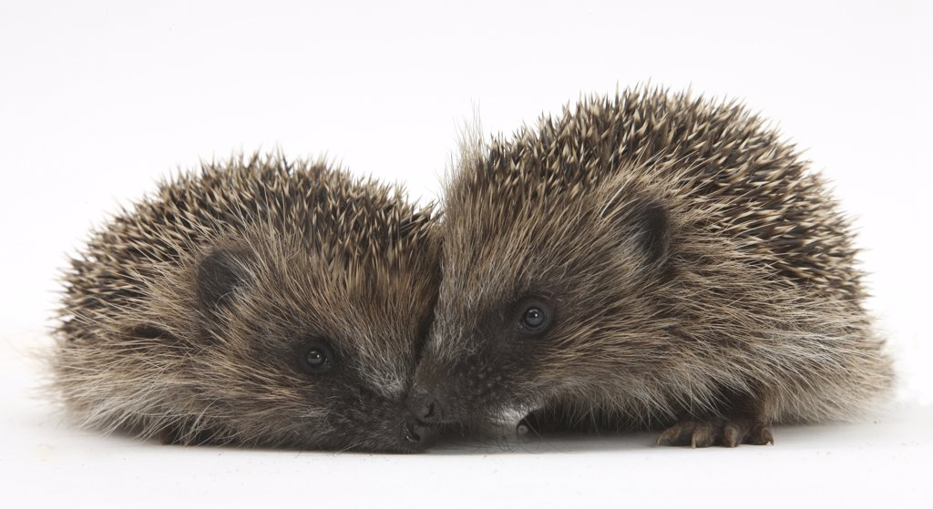 Two young Hedgehogs (Erinaceus europaeus)  sitting together : Stock Photo