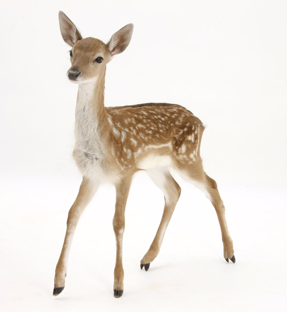 Fallow Deer (Dama dama) portrait of fawn standing, : Stock Photo