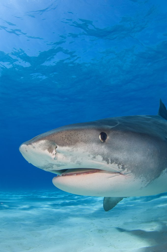 Stock Photo: 4070-13910 Tiger shark (Galeocerdo cuvier) portrait over white sand. Little Bahama Bank, Bahamas.
