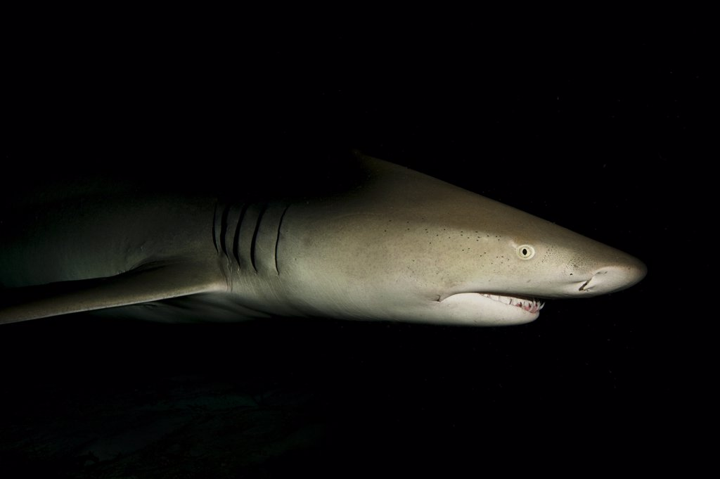 Lemon shark (Negaprion brevirostris) portrait at night. Little Bahama Bank. Bahamas. Tropical West Atlantic Ocean. : Stock Photo