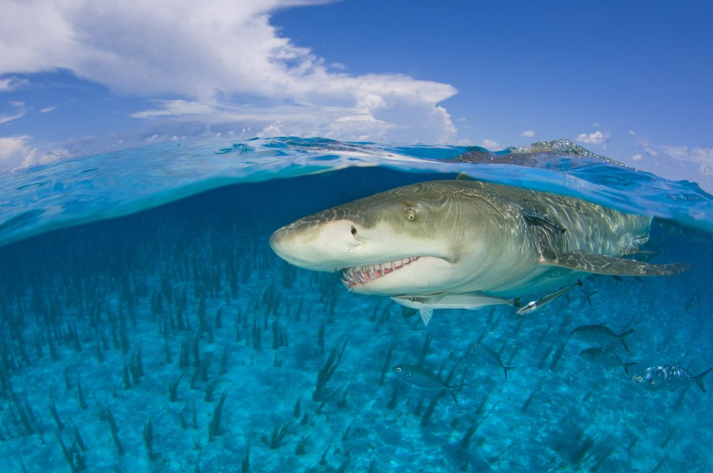 Lemon shark (Negaprion brevirostris) in shallow water at the surface, split level. Little Bahama Bank, Bahamas. West Atlantic Ocean. : Stock Photo