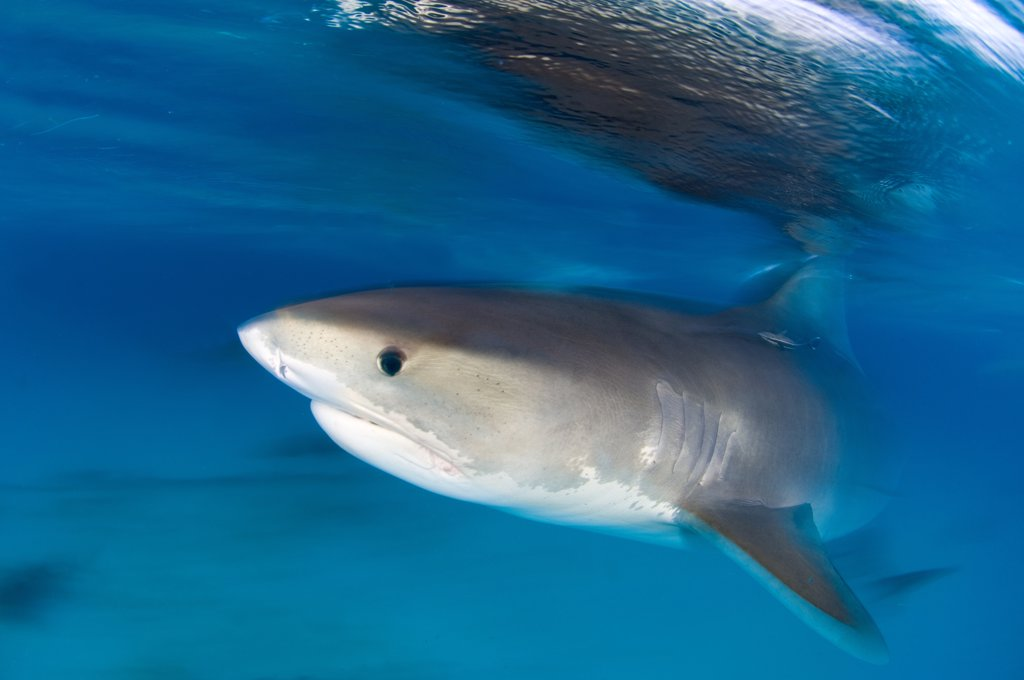 Stock Photo: 4070-14120 A long exposure of a Tiger Shark (Galeocerdo cuvier) portrait, at the surface at dusk. Little Bahama Bank, Bahamas. West Atlantic Ocean. March