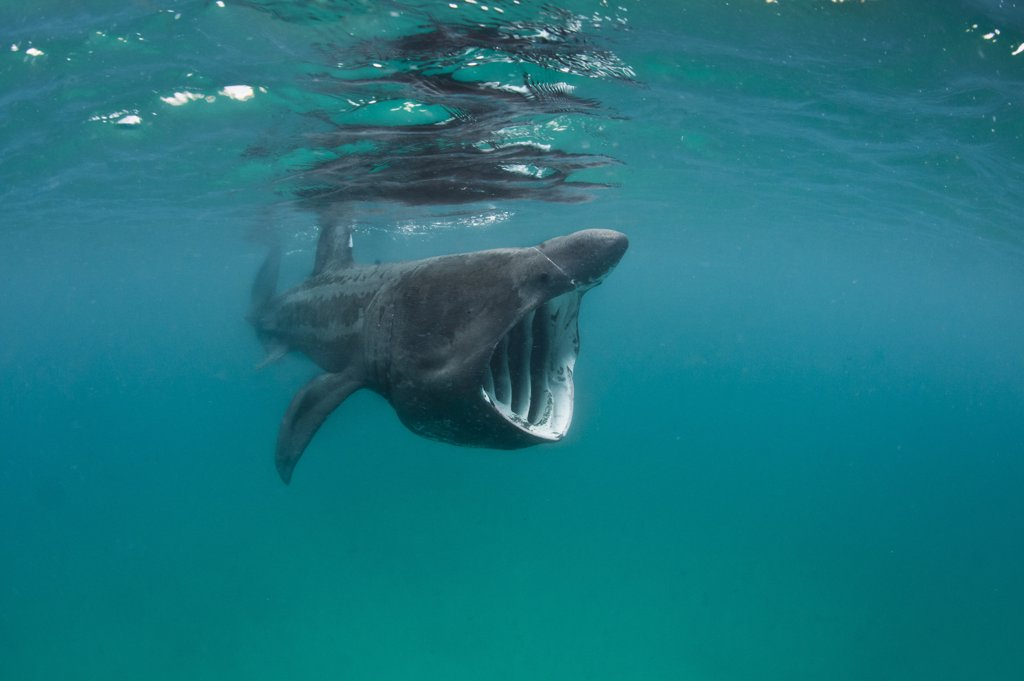 Stock Photo: 4070-14172 A Basking shark (Ceterhinus maximus) feeding in open water off the Cornish Coast. Cornwall, UK. North East Atlantic Ocean. June