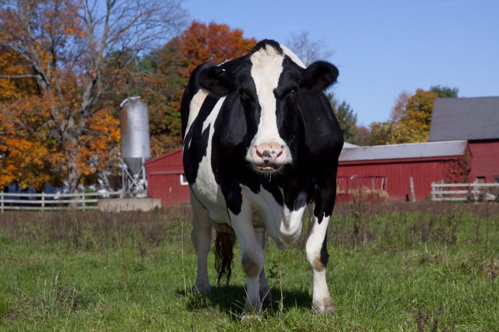 Holstein Cow in autumn pasture with Sugar Maple Trees and farm buildings in background, Granby, Connecticut, USA : Stock Photo