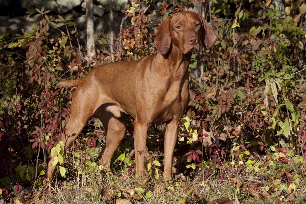 Stock Photo: 4070-14389 Hungarian Vizsla standing amongst autumn foliage, Connecticut, USA