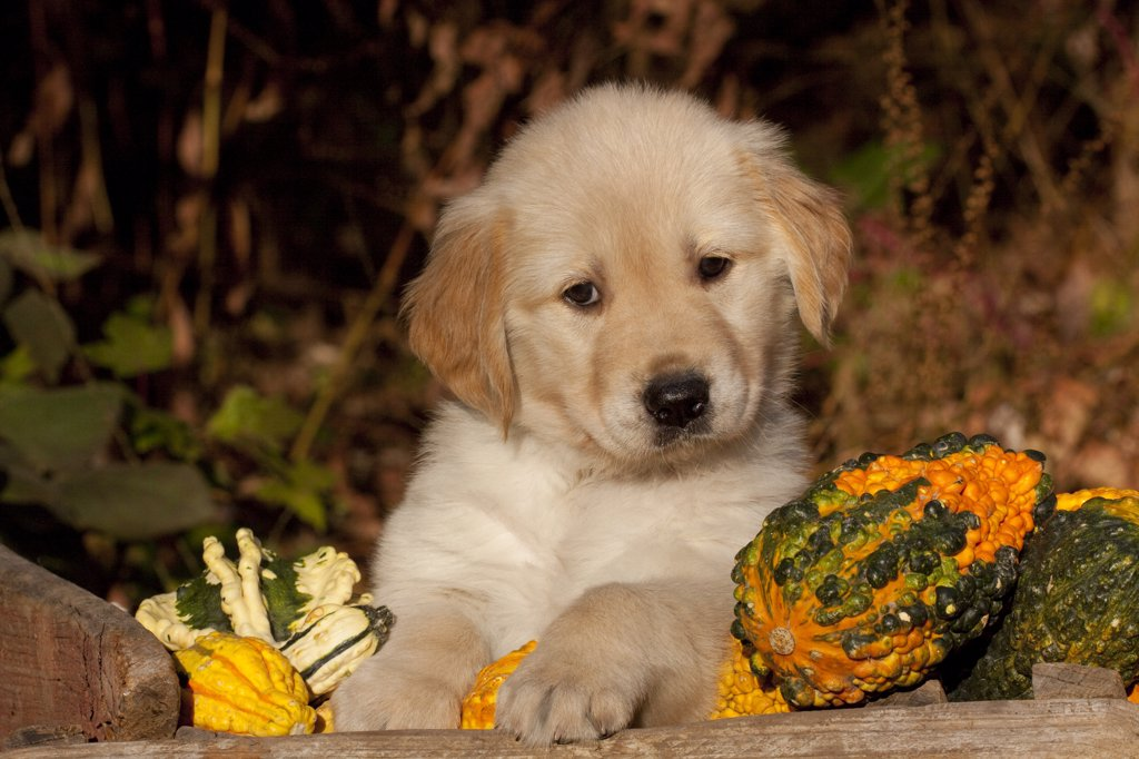 Stock Photo: 4070-14422 Golden Retriever puppy, 6 weeks, amongst gourds, Illinois, USA