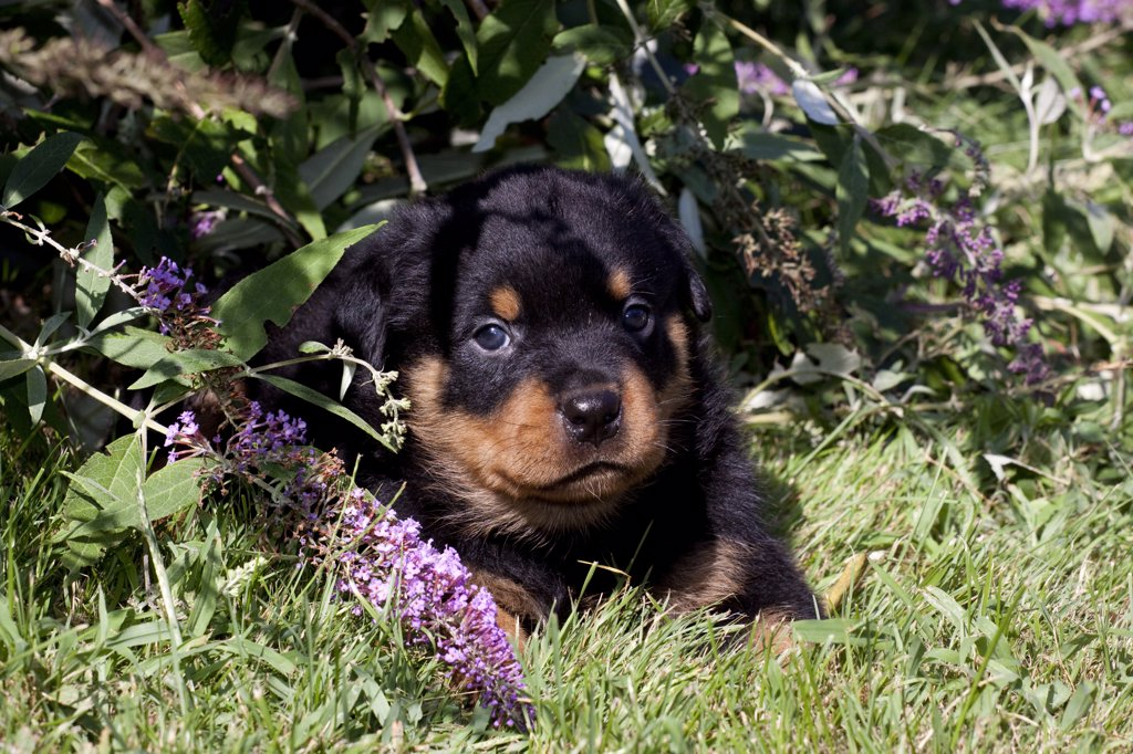 Stock Photo: 4070-14512 Rottweiler Puppy lying under Buddleia flowers, Connecticut, USA
