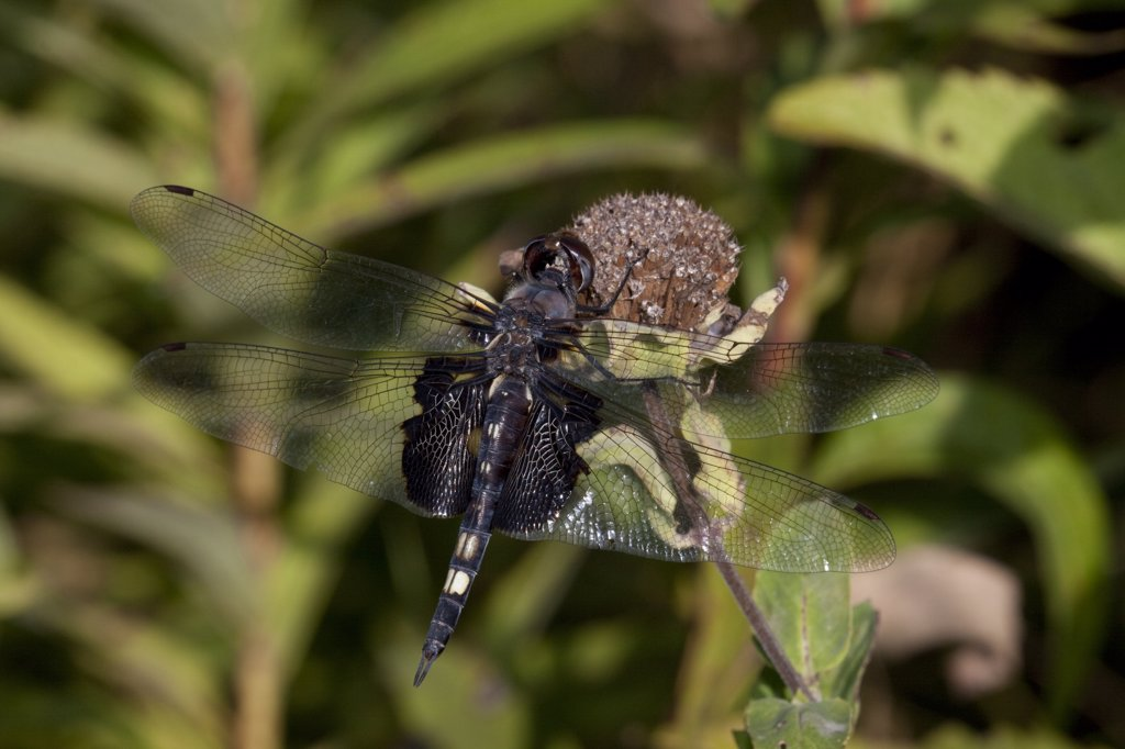 Stock Photo: 4070-14518 Black Saddlebags dragonfly (Tramea lacerata) resting on dried blossom at the edge of a fen, Illinois, USA