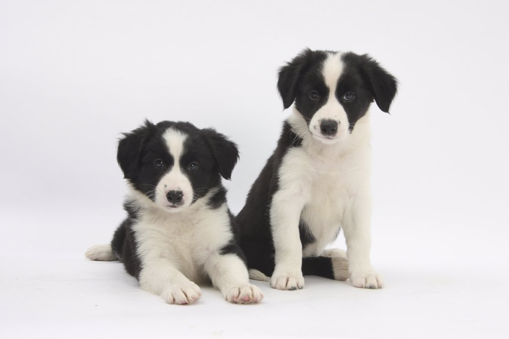 Stock Photo: 4070-14544 Two Border Collie puppies.