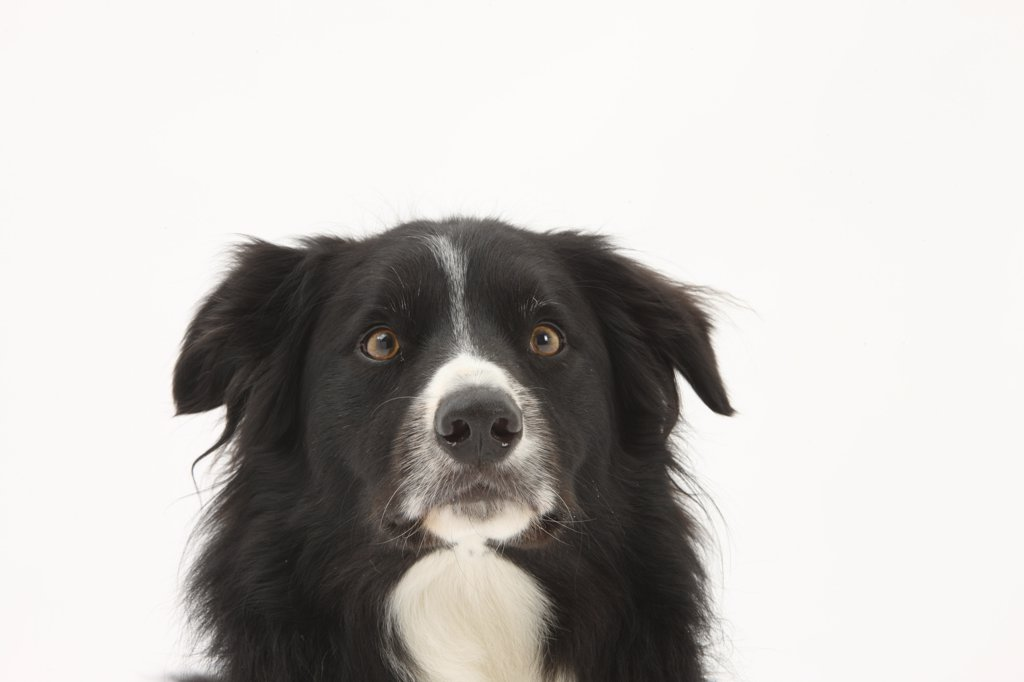 Stock Photo: 4070-14552 Border Collie face portrait.