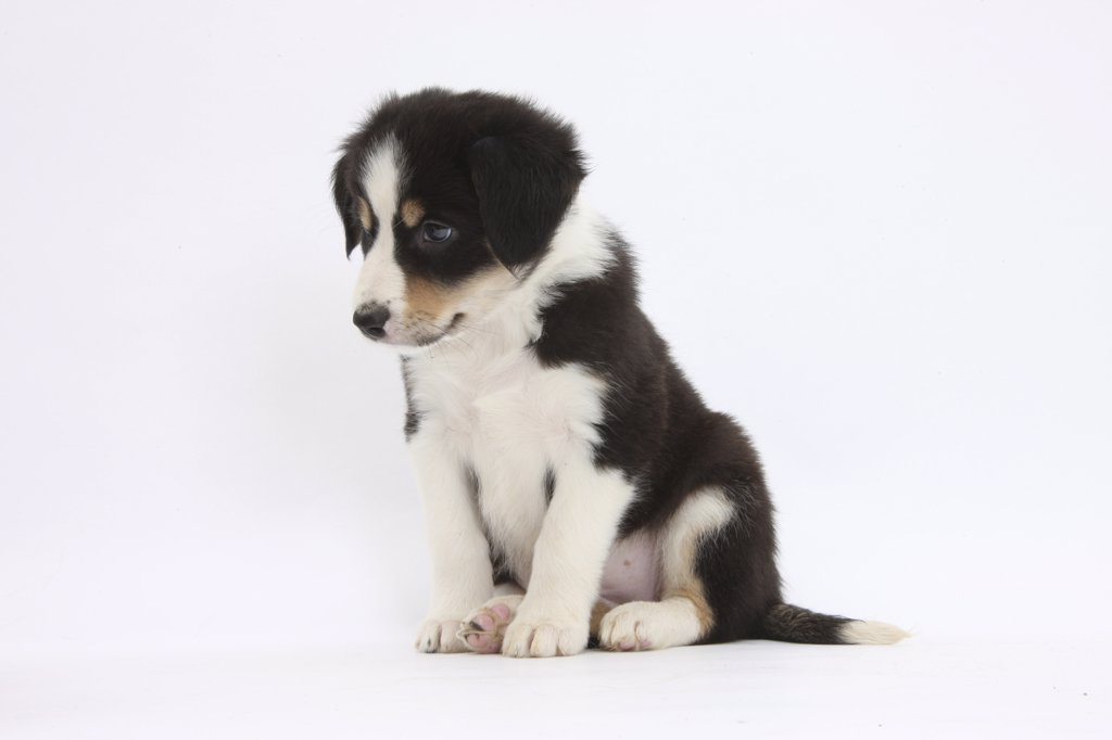Stock Photo: 4070-14560 Border Collie puppy sitting.