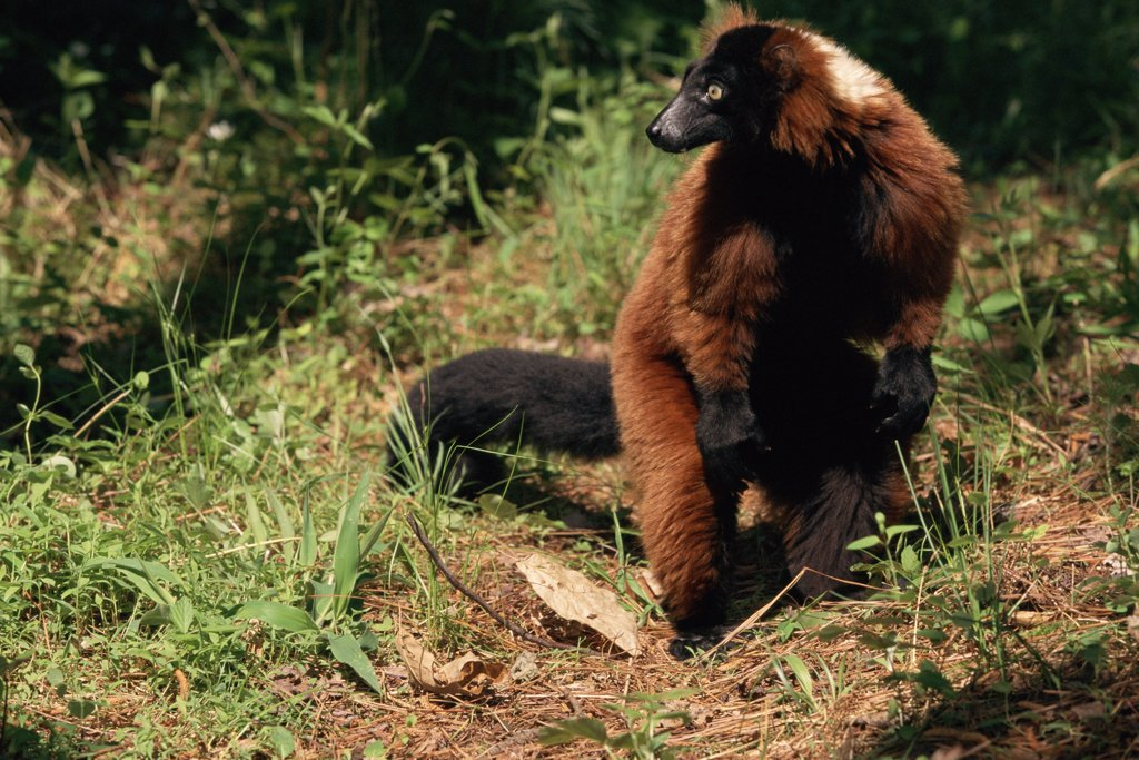 Stock Photo: 4070-1461 Red ruffed lemur {Varecia variegata ruber} captive, occurrs Madagascar