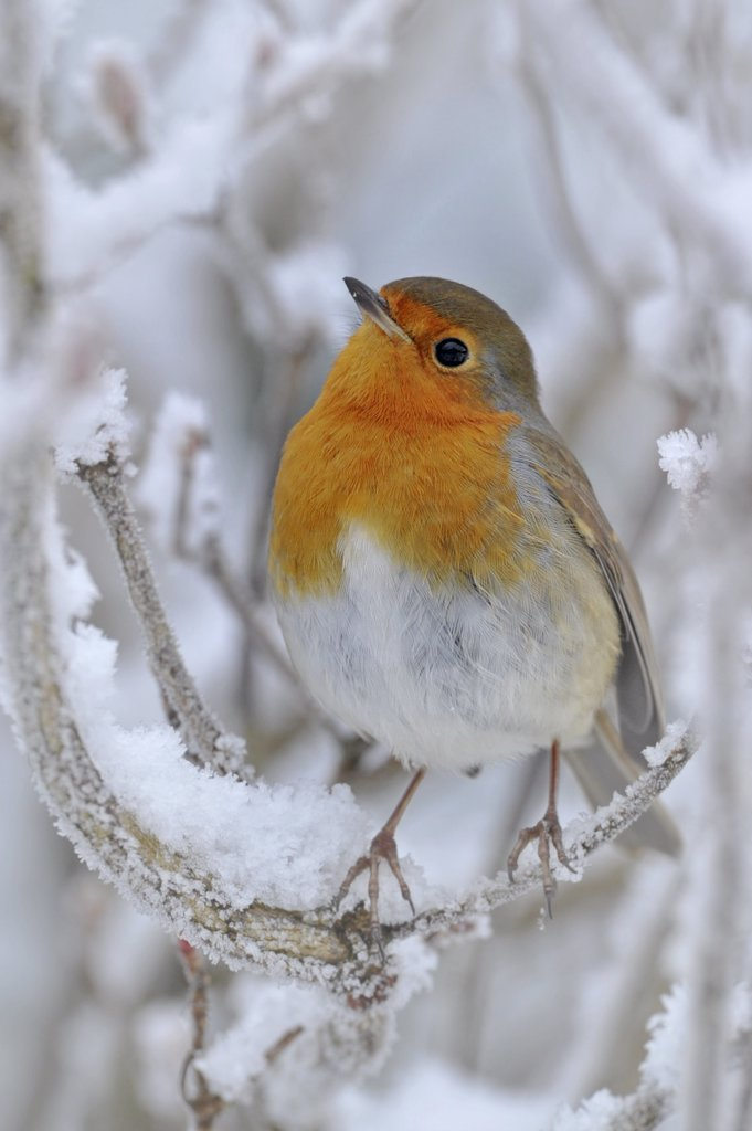 European Robin (Erithacus rubecula) perched on snowy twig. Wales, UK, December. : Stock Photo