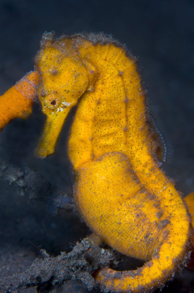 Stock Photo: 4070-14719 A pregnant male Common / Spotted Seahorse (Hippocampus kuda) next to an orange sponge. Tulamben, Bali, Indonesia, Java Sea, September.
