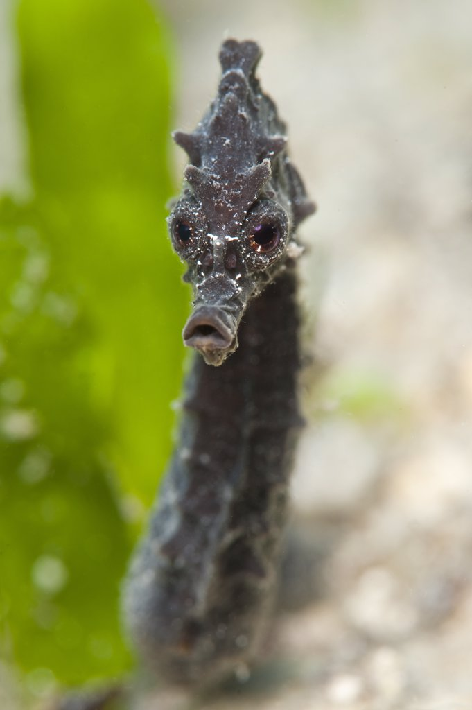 Stock Photo: 4070-14787 Portrait of a Common  / Short Snouted Seahorse (Hippocampus hippocampus) in seagrass. Isola La Maddelena, Sardinia, Italy, Mediterranean Sea, August.