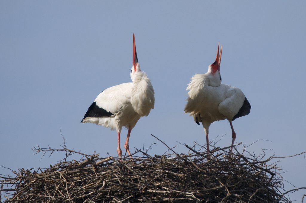 Stock Photo: 4070-14830 Breeding pair of White Stork (Ciconia ciconia) simultaneously calling in a bonding behaviour. The Netherlands, April.